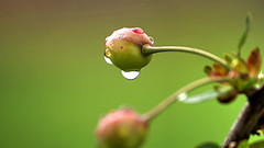 Water is the driving force of all nature. Leonardo da Vinci (genevieve van doren) Tags: rain cherry pluie cerise waterdroplet gouttedeau
