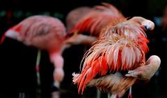 Caribbean Red Flamingo (Alona Azaria) Tags: red pastel flamingo caribbean excapture 70200mmf28gssm sonyslta77v