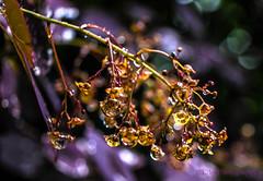 (Fay2603) Tags: light red plant reflection nature dark licht bush outdoor natur pflanze lila colored blte glas bunt busch violett schrfentiefe dunkelrot perckenbusch