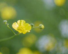 Buttercup Bokeh (Explored) (Fourteenfoottiger) Tags: flowers blur green nature sunshine yellow petals blurry soft pretty dof natural bright bokeh sunny explore buds wildflowers manual delicate manualfocus helios helios44m buttercups lightsunshine vintagelens explored sovietlens