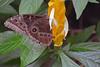 Blue morpho (arda292000) Tags: butterfly butterflies morphopeleides bluemorpho magicwings butterflyconservatory southdeerfieldma