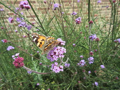 Painted Lady butterfly IMG_9101 (tomylees) Tags: june butterfly 16th thursday essex paintedlady braintree 2016