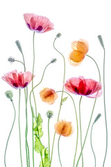 Poppies (Mandy Disher) Tags: summer flower colour nature floral beauty flora poppy papaver
