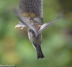 Try again (Katy Wrathall) Tags: 2016 chaffinch eastriding eastyorkshire england june summer birds feeders garden 30dayswild