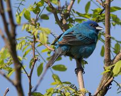 Indigo Bunting (J.B. Churchill) Tags: allegany birds inbu maryland oldlegislativeroad places sparrowstowhees taxonomy frostburg unitedstates us