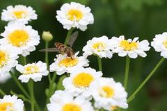 Episyrphus balteatus - Gemeine Parkschwebfliege, Weibchen , NGID1428574745 (naturgucker.de) Tags: episyrphusbalteatus naturguckerde kleingarteninkrefelduerdingen cjrgengehnen ngid1428574745
