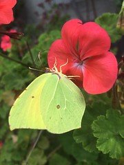 Butterfly (simonescudu) Tags: morning red summer flower color yellow garden happy good natur ali fairy petali farfalla simpy inset geranio