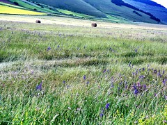 DSC00487 (saviozzilucia) Tags: flowers montagna umbria norcia castelluccio fioritura piangrande sonyrx100