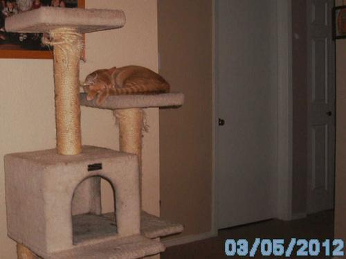Mango sleeping on the cat tree. Apparently he like it!