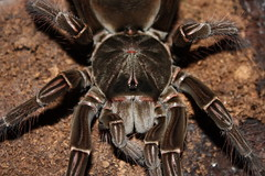 "0.1 Theraphosa stirmi • <a style=""font-size:0.8em;"" href=""http://www.flickr.com/photos/77637771@N06/6830768306/"" target=""_blank"">View on Flickr</a>"