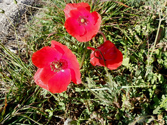a poppy day (Marlis1) Tags: red spain poppies catalunya wildflowers rosella tortosa coquelicot marlies papaveraceae amapolas papoula klatschmohn papaversp papaverrhoeas commonpoppy mohnblumen mitxoleta