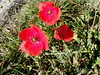 a poppy day (Marlis1) Tags: red spain poppies catalunya wildflowers rosella tortosa coquelicot marlies papaveraceae amapolas papoula klatschmohn papaversp papaverrhoeas commonpoppy mohnblumen mitxoleta