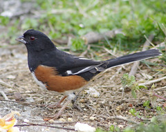 Eastern Towhee with beautifull red eye - High Point North Carolina (fazer53) Tags: bird nature birds canon photography wildlife photographers northcarolina highpoint carolina ornithology easterntowhee 50d guilfordcounty eos50d canon50d photographersshowcase 75300mmcanon 50dcanon fazer53