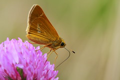 Resting on a Flower ( Spice (^_^)) Tags: flower color macro japan canon insect geotagged eos photo wings flora asia flickr      naganoken     takagimura  gettyimagesjapan12q1