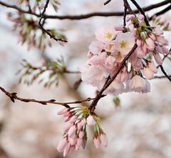 DC Cherry Blossoms and Buds (ghbrett) Tags: pink white flower cherry dc washington nikon blossom mostinteresting cherryblossoms nikkor flowerbuds nikkor18200mm nikond90 nkikorafs18200mm1356ged