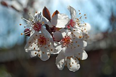 Blossoms at Mother's Day (DaveJC90) Tags: pink light shadow sun sunlight white blur flower detail macro yellow closeup dark march petals spring stem focus day blossom head background blossoms mother sunny sharp petal bud shape mothersday sharpness