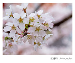 ... ( ()) Tags: park travel pink flowers trees light sky white plant flower macro tree castle nature garden cherry temple 50mm spring blossom bokeh blossoms taiwan olympus  cherryblossom sakura cherryblossoms   zuiko cherrytree e30 cherrytrees  alishan    cherryblossomfestival        alishannationalforestrecreationarea