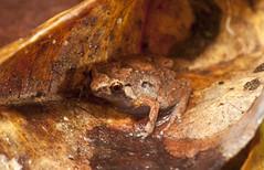 Creaking Nursery Frog (Cophixalus infacetus) (Gus McNab) Tags: nursery amphibian frog frogs amphibians herp herps herpetology creaking myobatrachidae cophixalus myobatrachid myobatrachids infacetus