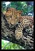 Alone (Sara-D) Tags: cats nature animals forest asia wildlife sl sri lanka leopard species srilanka ceylon endangered lk bigcats yala wildcats wildanimals southasia endangeredspecies sarad panthera pantherapardus mamals pardus srilankaleopard saranga pantheraparduskotiya kotiya predetors flickrbigcats sarangadevadealwis sarangadeva