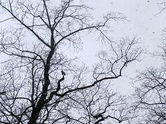 Great Horned Owl (Kristine Paulus) Tags: nyc manhattan parks urbanwildlife owls greathornedowl inwoodhillpark bubovirginianus