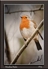 Woodland Robin (MShoey1) Tags: park uk winter wild england west bird london nature robin closeup digital nikon bokeh wildlife croydon watcher wickham supershot specanimal d5000 mygearandme blinkagain sunrays5