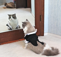 A Nervous Groom (jurvetson) Tags: snowflake wedding house home animal cat groom bride couple chat day veil kitty rental husband breeding heat bridesmaid nervous kona ragdoll husbandry valentino keeper valentines tuxwithtails