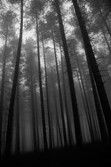 Foggy Trees Mono (preynolds) Tags: trees blackandwhite mist fog mono woods forrest foggy cannockchase tamron1750mm canon600d
