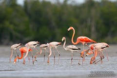 American Flamingos (Judd Patterson) Tags: pink florida flamingo flock evergladesnationalpark americanflamingo
