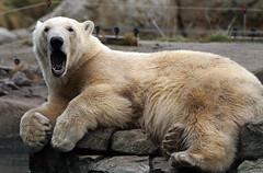 IJsbeer Vicks Blijdorp IMG_0638 (j.a.kok) Tags: beer bear ijsbeer polarbear arctic pool noordpool blijdorp vicks mammal zoogdier predator