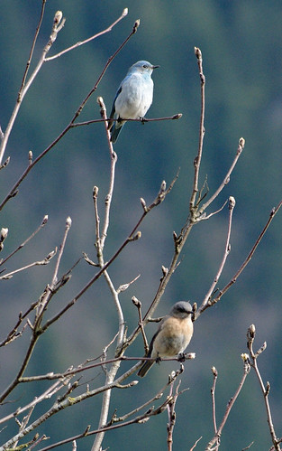 Mountain Bluebird - Hope