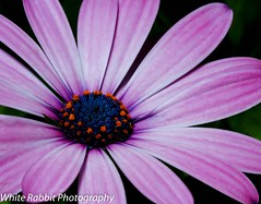 African Daisy - 2.0 (Glenn Stuart ( White Rabbit Photography )) Tags: flowers macro nature floral sanantonio canon texas 100mm africandaisy fantasticnature canon7d awesomeblossoms