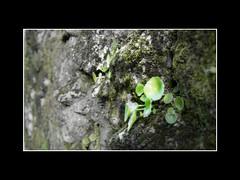 Umbilucus Rupestris (javitoll) Tags: de venus piedras cicatriz ombligo rin rupestris hemorroides umbilucus diurtica