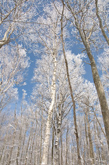 Land of the Silver Birch (meaghan.mcintyre) Tags: trees winter snow collingwood