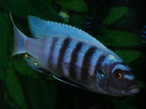 Pseudotropheus sp. 'chinyankwazi' Chinyankwazi Island