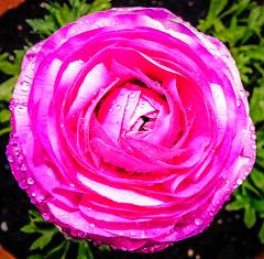 Spring Ranunculus (lisamarie220) Tags: spring ranunculus pinkflower sp12 dma136