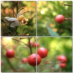 (Tölgyesi Kata) Tags: nandinadomestica japánszentfa égibambusz mennyeibambusz heavenlybamboo sacredbamboo arboretum budaiarborétum withcanonpowershota620 mozaik mosaic garden collage