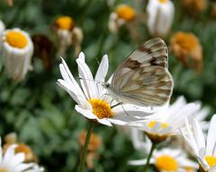 primavera (Greñitas) Tags: primavera flor mariposa margaritaangelanavabolaños