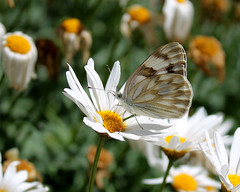 primavera (Greitas) Tags: primavera flor mariposa margaritaangelanavabolaos