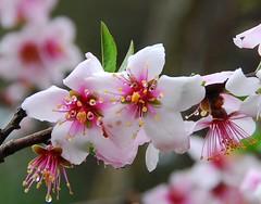 DSC_0183-2 (yhshangkuan) Tags: japan spring kyoto blossom bloom  cherryblossom sakura   fullbloom 2011 hiranoshrine