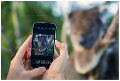 Koala taken on a smart phone (Robert Lang Photography) Tags: lake rural canon reflections reeds photo image photos dam farm australia snap images powershot example serenity sample s
