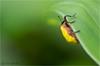 IMGP9941 (Jack O'Donate) Tags: curculionidae tamronspaf90mmf28dimacro coléoptères rhynchites charençon routedelatrace pentaxk5 ileomus