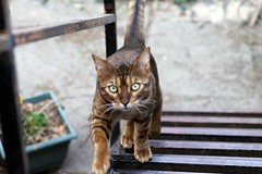 76/365 (Frankness2008) Tags: fauna canon gato felino 365 bengali proyecto