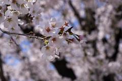 IMGP6866 (Amad) Tags: flower japan spring   sakura kiryu