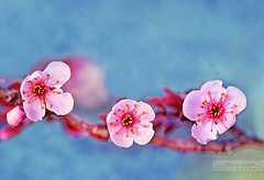 Spring is here (whoisnd) Tags: pink blue flower colour macro tree love colors closeup canon march petals spring colorful warm soft branch heart 100mm nectar 28 bud pollen tender nitin 100l 1div nitindangwal