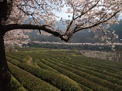 Green Tea Field-Cherry Blossoms-Hadong-South Korea (mikemellinger) Tags: road flowers trees white mountains tree green nature beauty field cherry landscape scenery village tea blossom blossoms scenic peak hills rows bloom fields southkorea hadong hwagae