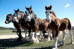 clydesdales and foal (Peter_Mackey) Tags: horse team farm clydesdale foal heyfield