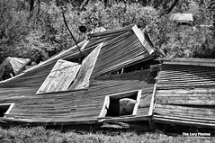May 19 2016 - Barn down, sheep could care less (lazy_photog) Tags: old barn photography big sleep failure aaron basin anderson lazy ten weathered wyoming horn elliott photog collapsed caved 051916tensleepbarnfinallydown