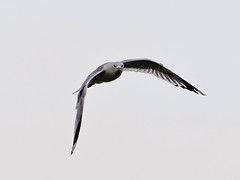 Sturmmoewe (Larus canus) Common gull (g3Tography) Tags: sea birds wildlife gulls baltic ostsee fehmarn fehmarnvgelmwen