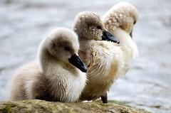 Junge Schwne (fotomnni) Tags: nature animals tiere swan natur animaux schwan cygne naturephotography natureshots tierfotografie naturfotografie tierkinder manfredweis