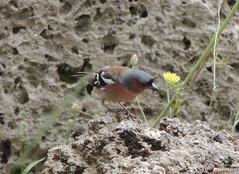 DSCN8075_chaffinch (nbc_2011) Tags: bird animalplanet chaffinch planetearth